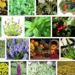 sivasta-sifali-bitkiler-bitkisel-tedavi-merkezi_705.big